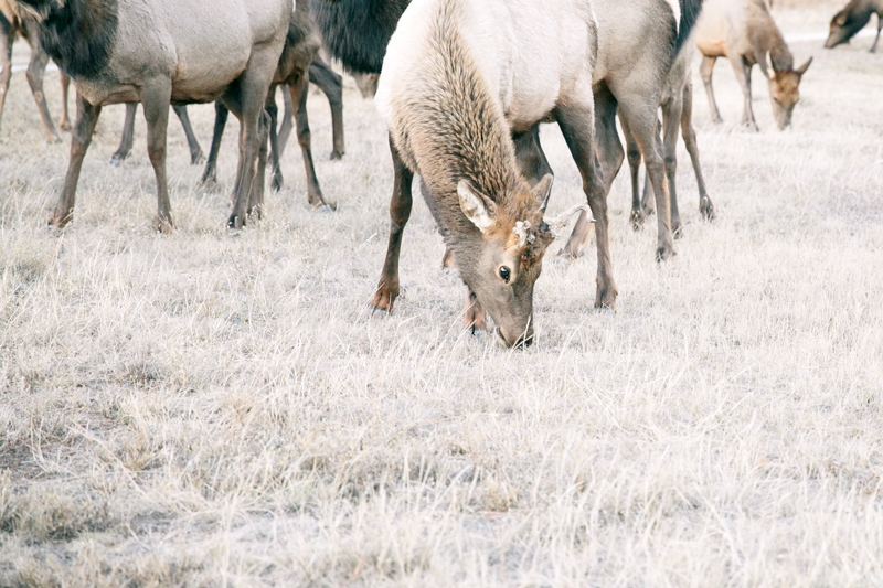 elk-young-close