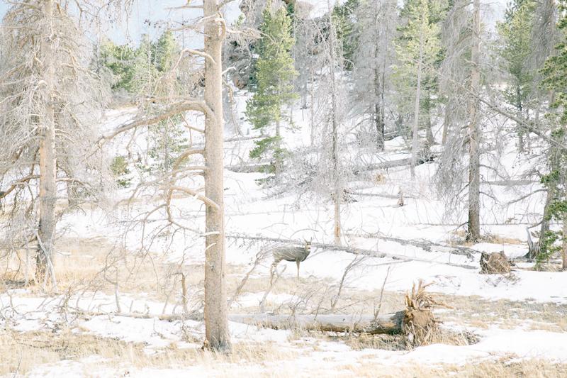 forest-deer